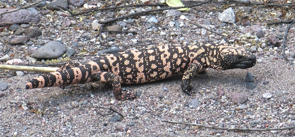 A Gila monster in southeast Arizona
