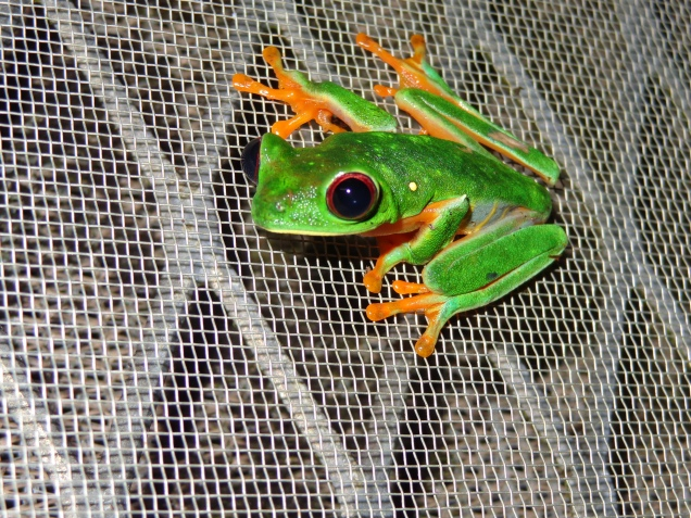 Red-eyed tree frog on Barro Colorado Island, Panama