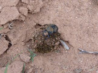 Dung Beetle in southeast Arizona