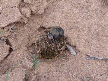 Dung Beetle in southeast Arizona