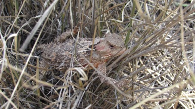 Horned lizard near Flagstaff, AZ