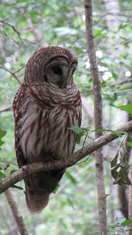 Barred Owl in Beidler Forest, SC