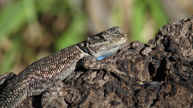 A Yarrow's spiny lizard showing off its under-neck color.