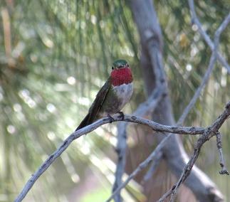 Broad-tailed hummingbird at Mt. Lemmon