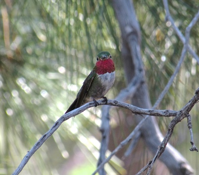 Broad-tailed hummingbird at Mt. Lemmon
