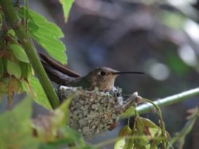 A female broad-tailed hummingbird on her nest in Mt. Lemon, AZ