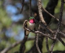 Broad-tailed hummingbird male in Mt. Lemon, AZ