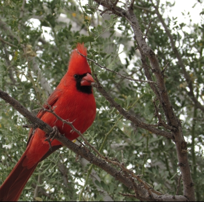 A northern cardinal at Boyce Thompson Arboretum, AZ