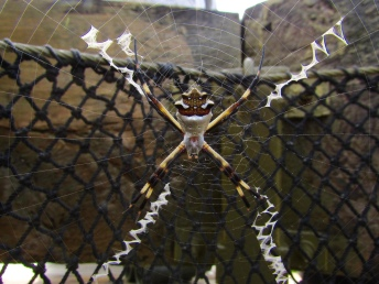 A Silver argiope in a canopy tower in central Panama