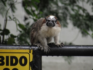 A Geoffry's tamarin in central Panama