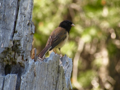 A dark-eyed junco near lake Tahoe
