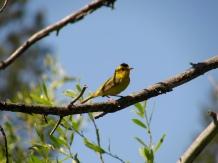 Wilson's warbler near lake Tahoe