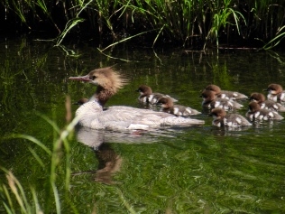 A common merganser female with chicks along Sagehen Creek, CA