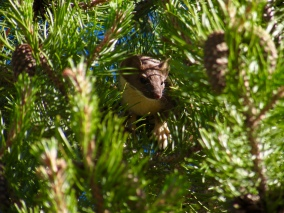 A long-tailed weasel near lake Tahoe