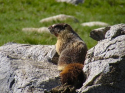 A yellow-bellied marmot in Yosemite National Park