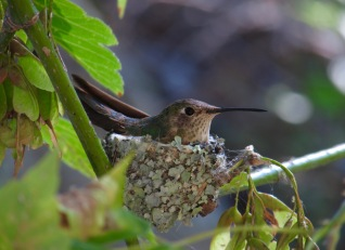 Female broad-tailed hummingbird on a nest, by me