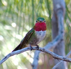 Broad-tailed hummingbird male by me