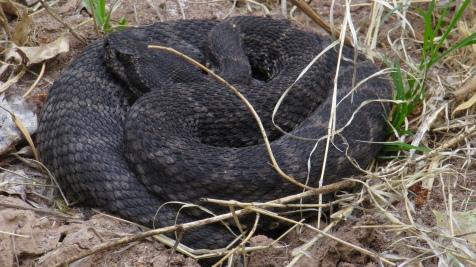 Black rattlesnake
